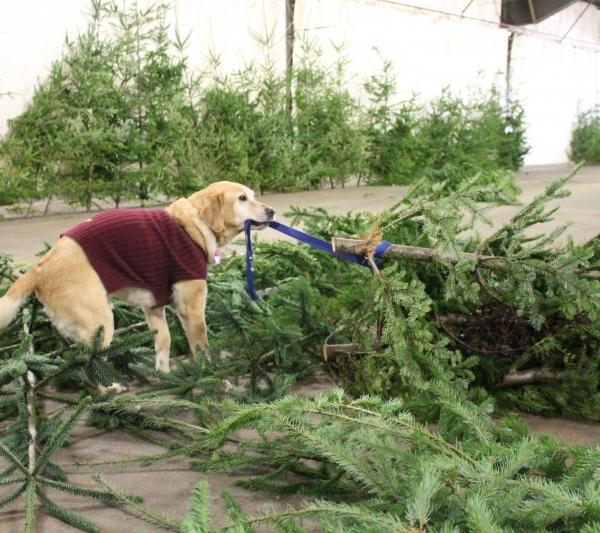Mooch helping move trees around